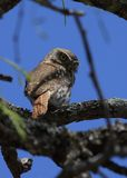 Ferruginous Pygmy-Owl. A Ferruginous Pygmy-Owl in south Texas in March, 2009 Stock Photography