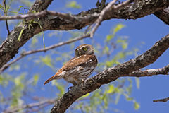Ferruginous Pygmy-owl Royalty Free Stock Photos