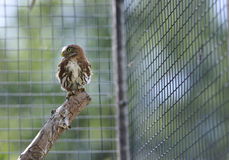 Ferruginous pygmy owl Stock Photo