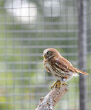 Ferruginous pygmy owl Royalty Free Stock Images