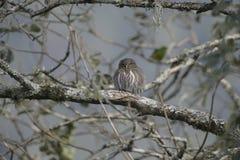 Ferruginous pygmy-owl, Glaucidium brasilianum Stock Images
