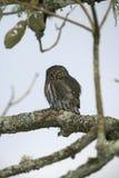 Ferruginous pygmy-owl, Glaucidium brasilianum Stock Image