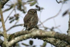 Ferruginous pygmy-owl, Glaucidium brasilianum Royalty Free Stock Photography