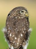 Ferruginous pygmy owl Royalty Free Stock Image
