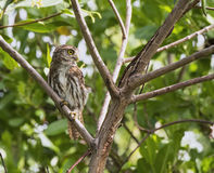 Ferruginous Pygmy-Owl in the Yucatan, Mexico. Ferruginous Pygmy-Owl rests in a tree in the Yucatan, Mexico Stock Photography