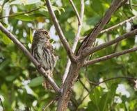 Ferruginous Pygmy-Owl in the Yucatan, Mexico Stock Photography