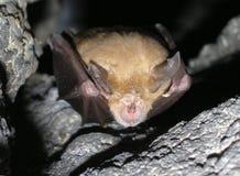 Ferrumequinum de Rhinolophus de 'bat' Image libre de droits