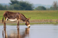 Fertile donkey drinking water. On a watering place royalty free stock photo