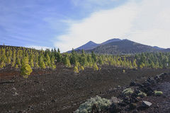 Fertile earth. Trees growning on the fertile earth of the Teide in Tenerife stock images