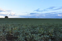 Fertile field. A beautiful soybean field covered with blue sky royalty free stock images