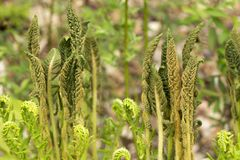 Fertile stalks of cinnamon fern in Newbury, New Hampshire. royalty free stock images