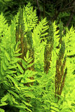 Fertile fronds of royal fern, White Memorial, Litchfield, Connec Royalty Free Stock Image