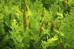 Fertile fronds of royal fern, White Memorial, Litchfield, Connec Stock Photography