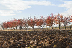 Fertile land with red leaves orchard background Stock Images