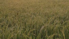 Fertile rice paddy stock footage