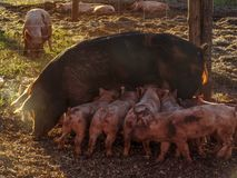 Fertile sow. Lying on straw and piglets suckling in a sunset stock images