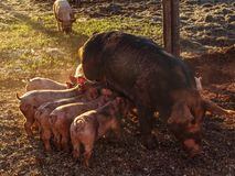 Fertile sow stock photography