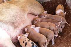 Fertile sow lying on hay and piglets suckling Stock Photography