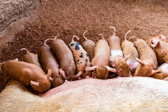 Fertile sow lying on hay and piglets suckling Stock Images
