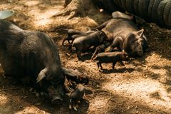 Fertile sow lying on straw and piglets suckling. farm, tires, zoo Vietnamese pigs stock photo