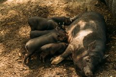 Fertile sow lying on straw and piglets suckling.farm, zoo Vietnamese pigs royalty free stock photo