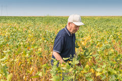 Fertile soybean field Royalty Free Stock Photo