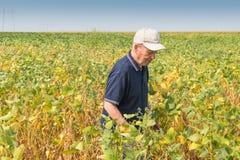 Fertile soybean field Royalty Free Stock Photo