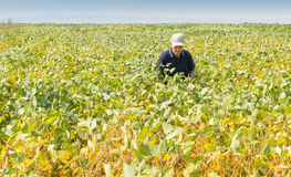Fertile soybean field Stock Photography