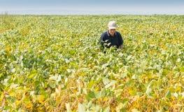 Fertile soybean field Stock Photography