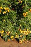 Fertilidad - porciones de naranjas en un árbol Fotos de archivo