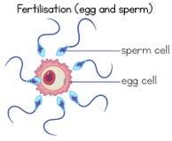 Fertilisation of egg and sperm diagram. Illustration Stock Image