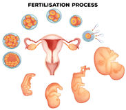 Fertilisation process on human. Illustration Stock Image