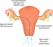 Fertilisation in the Uterus Royalty Free Stock Images