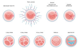 Fertilised cell development. Stages from fertilization till moru. La cell Stock Photography