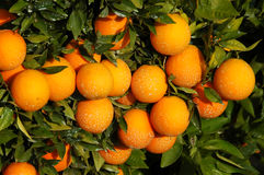 Fertilità - lotti degli aranci su un albero Fotografia Stock