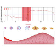 Fertility chart. Changes of body temperature during menstrual cycle, eps10 Stock Photos