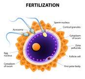 fertilización Célula de esperma de la penetración del huevo Imagenes de archivo