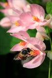 Fertilización de la abeja y de la flor en jardín Imagen de archivo libre de regalías