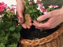 Fertilização Foto de Stock