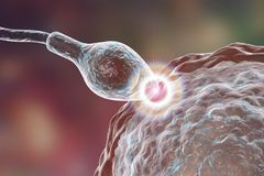 Fertilization of human egg cell by spermatozoan. 3D illustration Stock Images