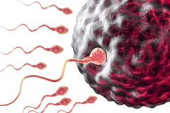 Fertilization of human egg cell by spermatozoan Royalty Free Stock Photography