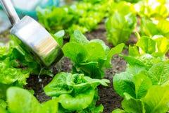 Fertilization of lettuce Royalty Free Stock Photos