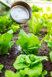 Fertilization of lettuce Royalty Free Stock Image