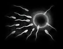 Fertilization of sperm and egg drawing with chalk on blackboard Royalty Free Stock Photography