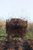 Agriculture. Fertilize of cow dung from tractor trail in hazelnut orchard Stock Photography