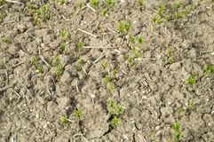 Fertilized cultivated field, fertilized green lentil field, fertilizer and agriculture. Farmers who fertilize the field with primitive methods, fertilized field Royalty Free Stock Image