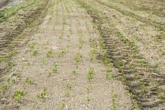 Fertilized ha coltivato il campo, il giacimento verde fertilizzato della lenticchia, il fertilizzante e l'agricoltura Fotografie Stock