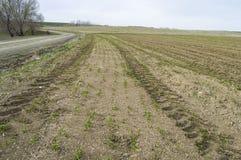 Fertilized ha coltivato il campo, il giacimento verde fertilizzato della lenticchia, il fertilizzante e l'agricoltura Fotografia Stock