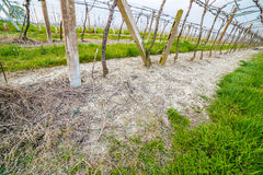 Fertilizer granules in blue at the foot of vines Stock Photography