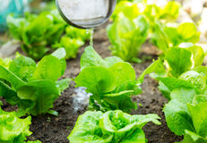 Fertilizer of lettuce field Stock Images